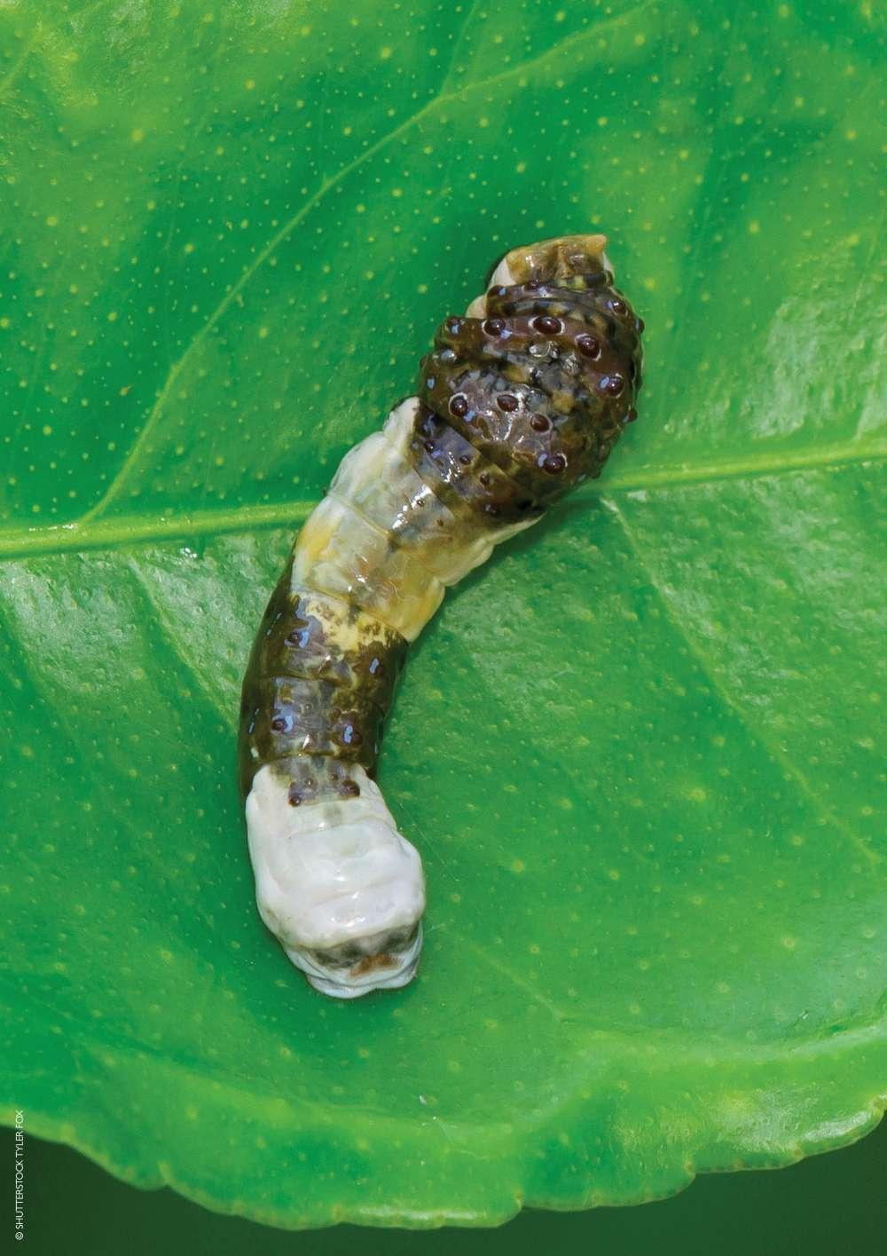 Bird poo caterpillar